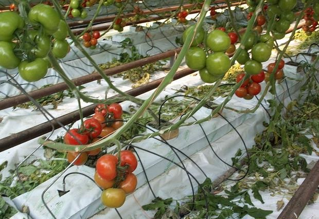 www.mbhuniversity.com-tomates slab